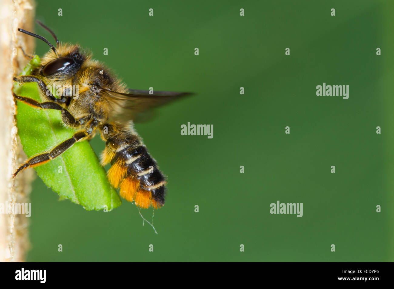 Patchwork Blatt-Cutter Bee (Megachile Centuncularis) erwachsenes Weibchen im Flug am Nesteingang mit einem Abschnitt Stockbild