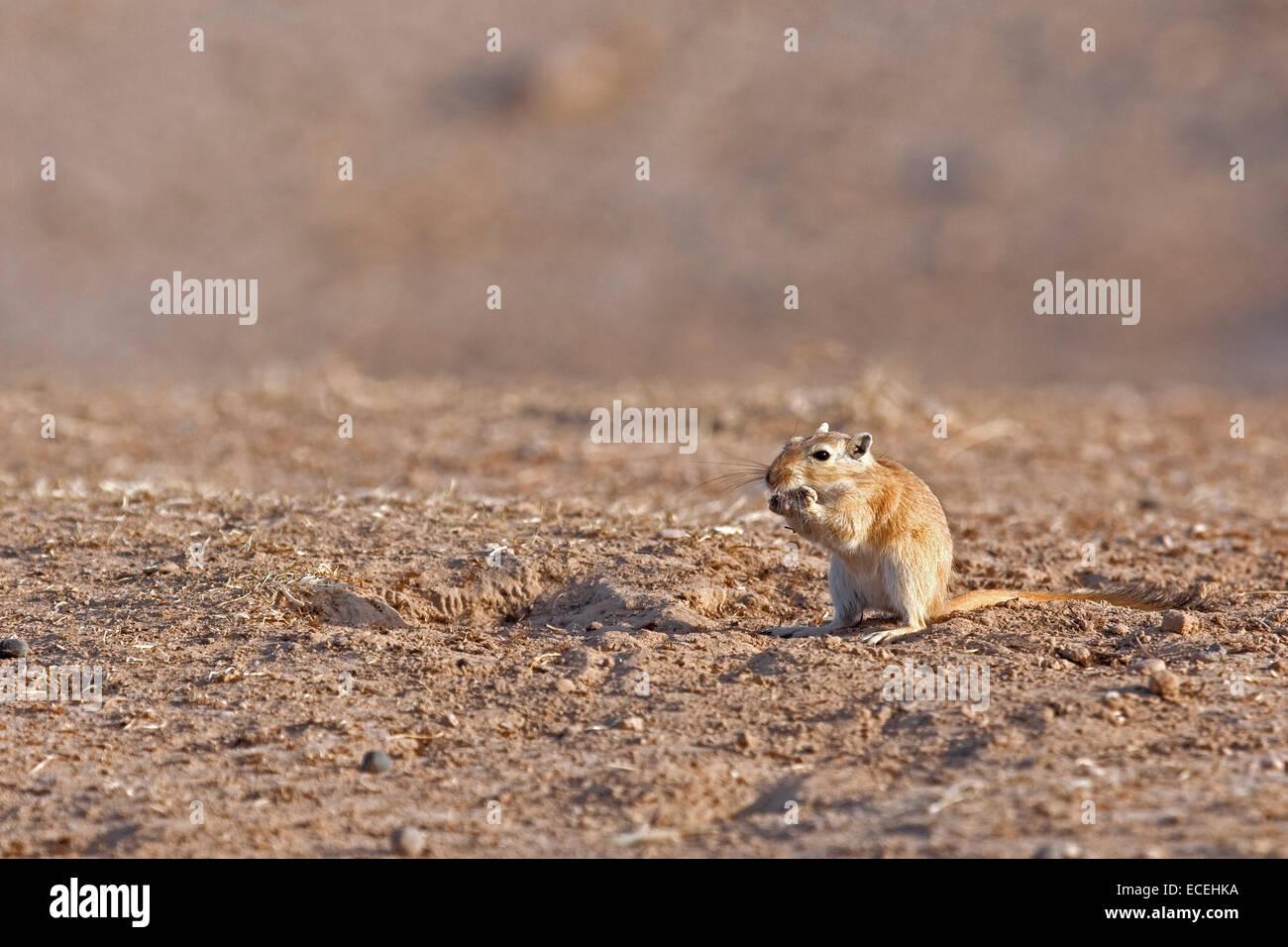 Große Rennmaus (Rhombomys Opimus) in der Karakum-Wüste im Iran Stockbild