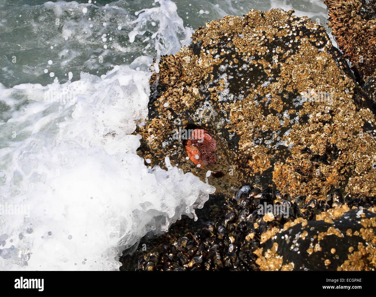 Seepocken, Muscheln und Seesterne immer mit Wellen spritzte. Florence, Oregon, USA Stockbild