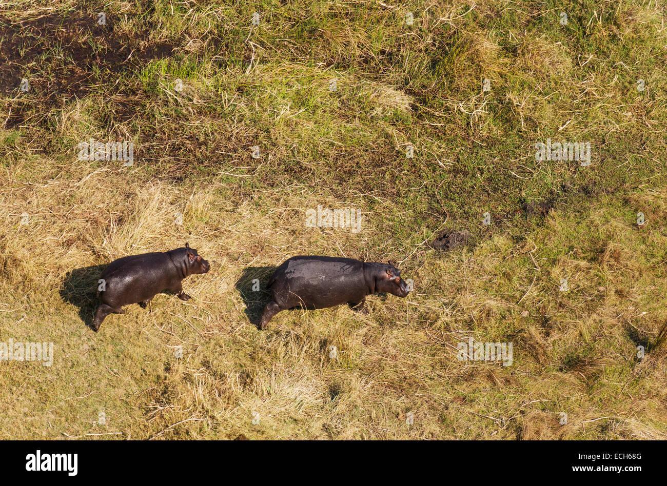 Flusspferde (Hippopotamus Amphibius), zu Fuß in Richtung einer nahegelegenen Sumpfgebiet, Luftaufnahme, Okavango Stockfoto