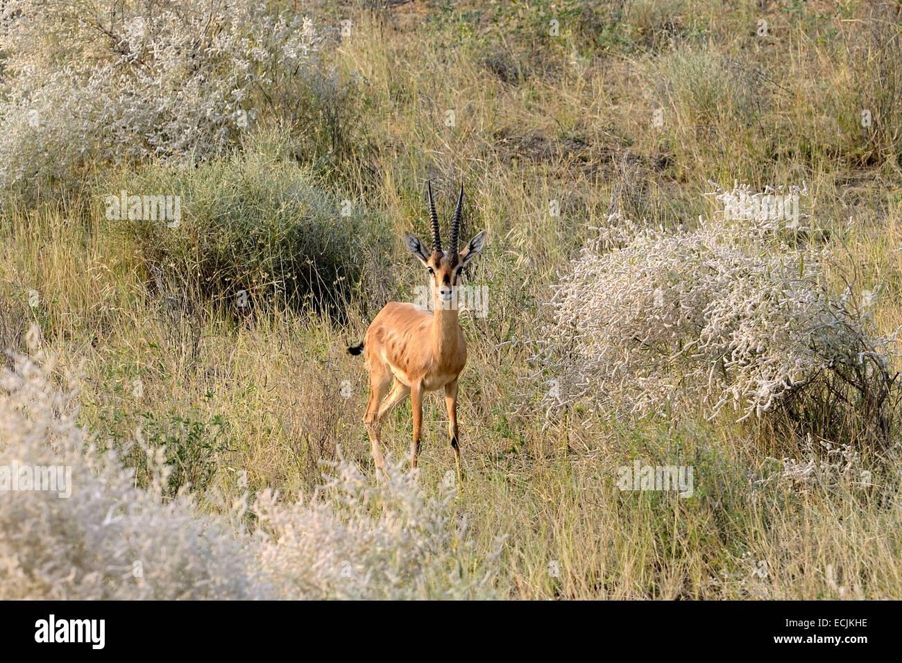 Indien, Rajasthan, Manwar Umgebung, Chinkara (indische Gazelle) Stockbild