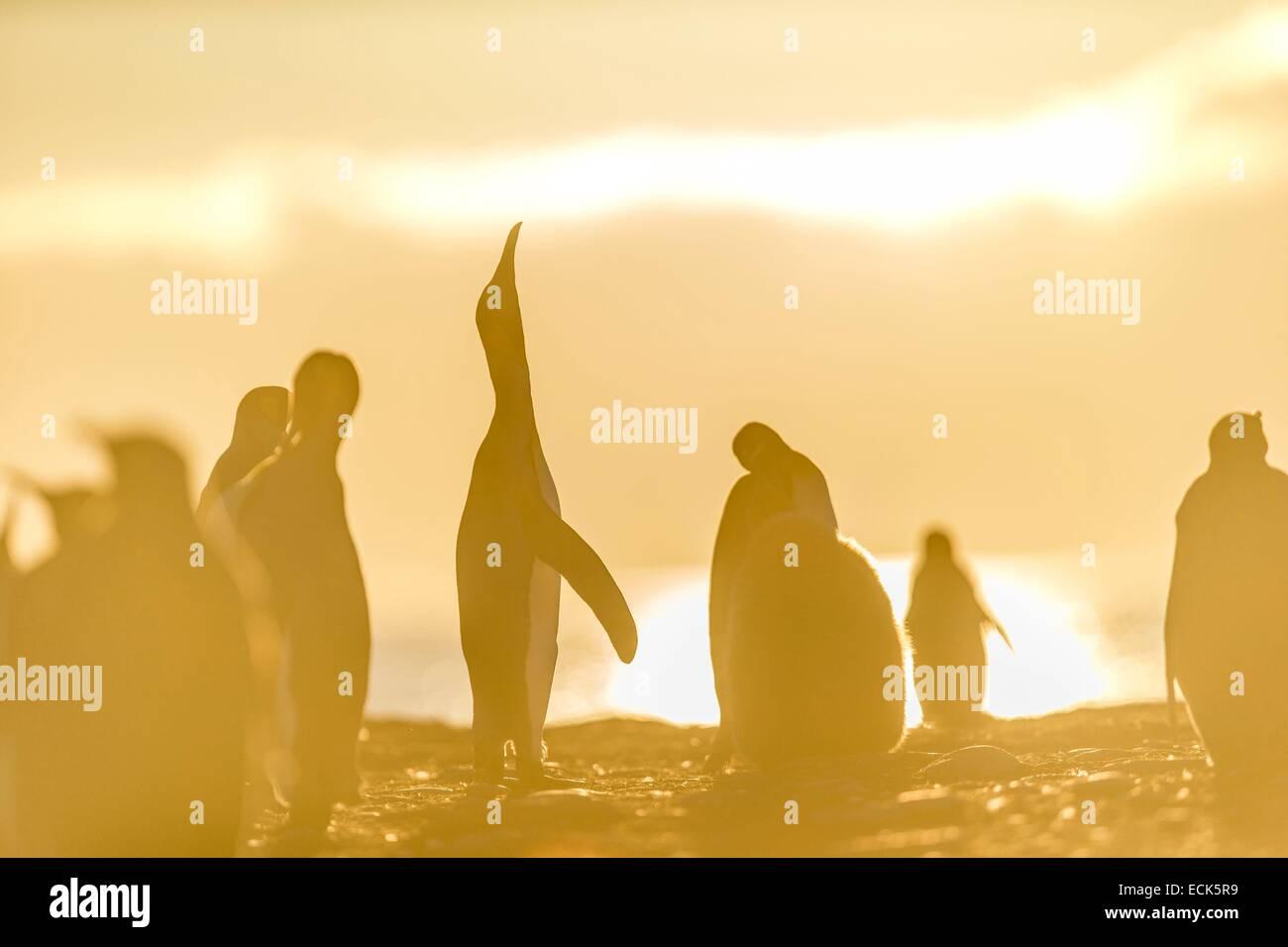 Süd-Atlantik, South Georgia Island, König Pinguin (Aptenodytes Patagonicus) Stockbild