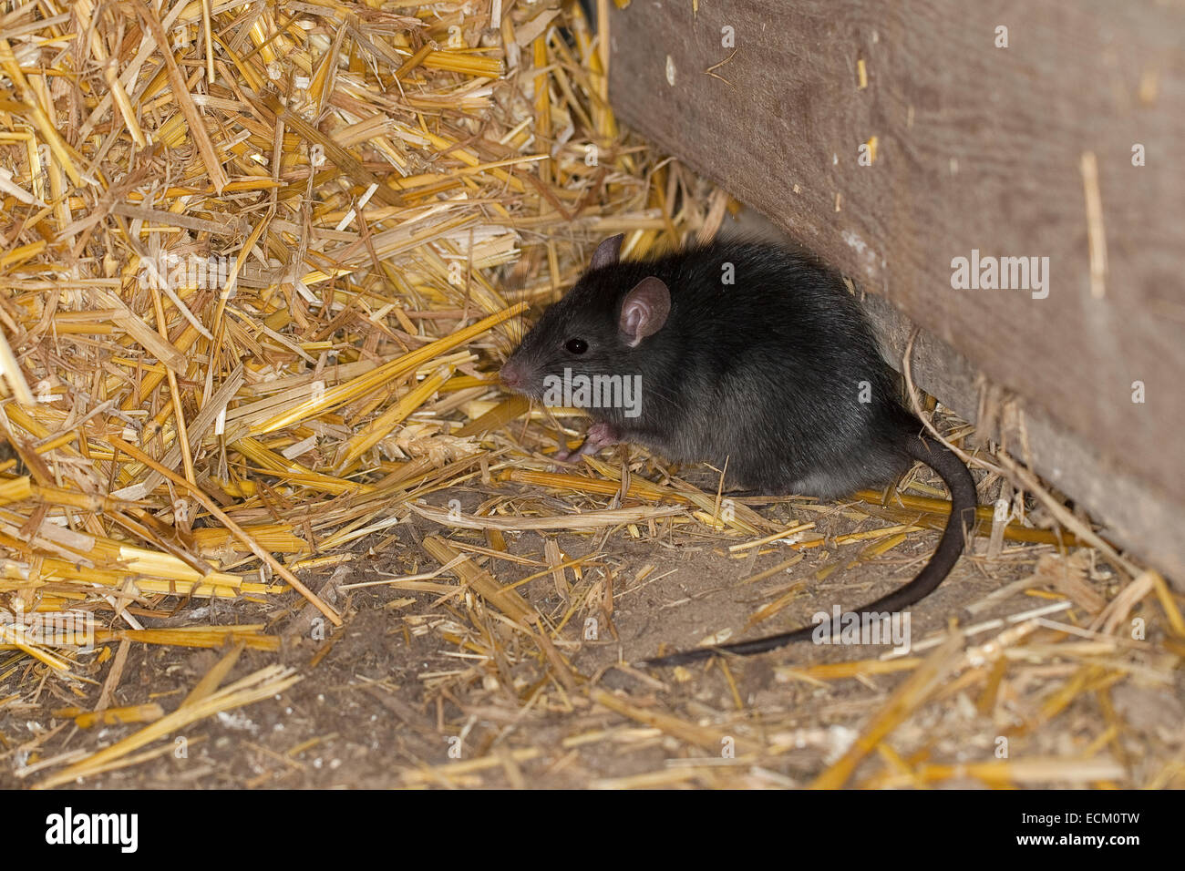 Schwarze Ratte, Dach-Ratte, Haus-Ratte, Schiff Ratte, Ratten, Hausratte, Haus-Ratte, Ratten, Ratte Rattus Rattus, Stockbild