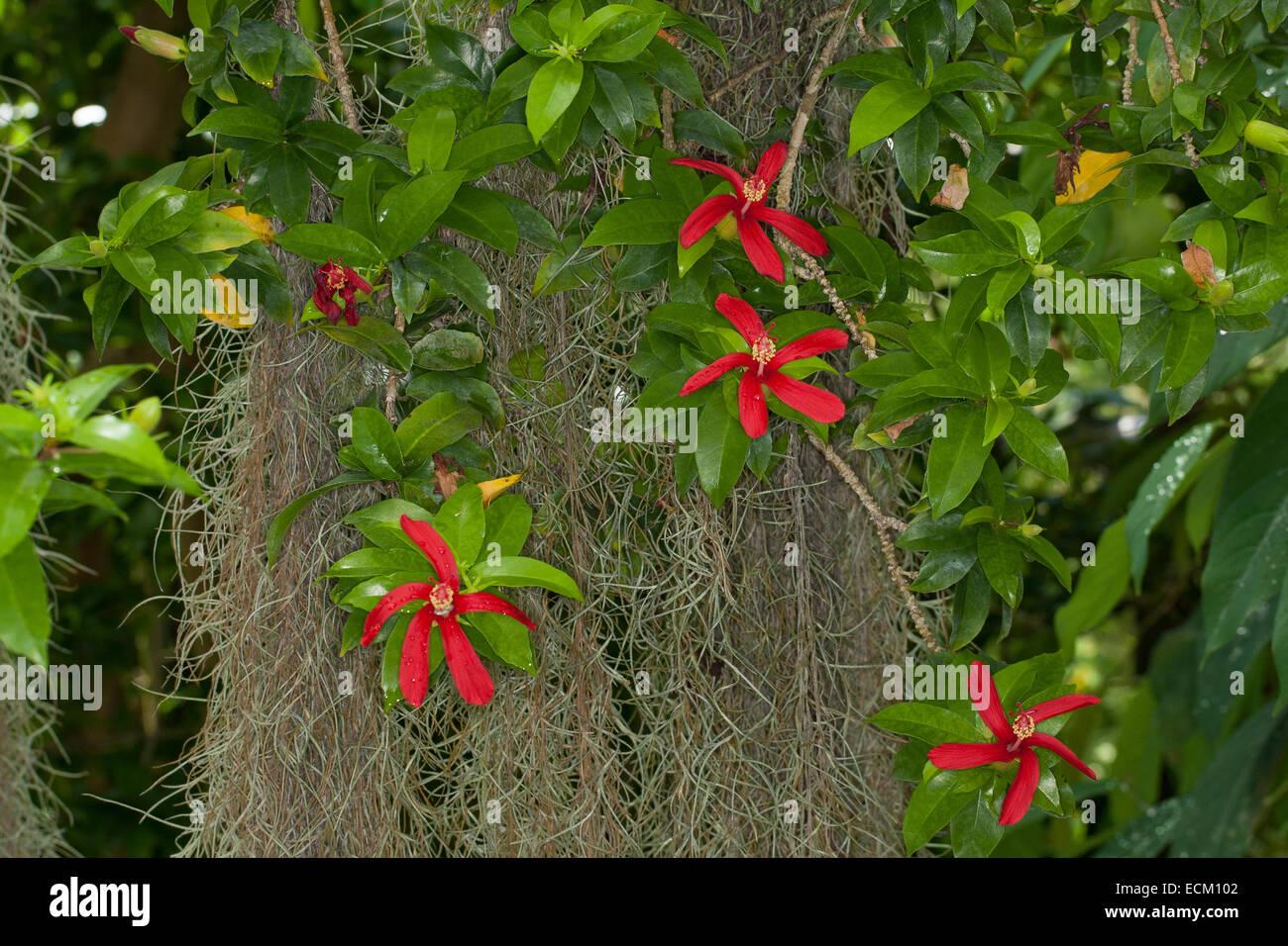 Hawaiian rote Hibiskus, Hawaii Hibiskus, Hibiskus, Riesen Malve, Eibisch, Hibiscus Clayi, Hibiskus, Eibisch, Roseneibisch Stockbild