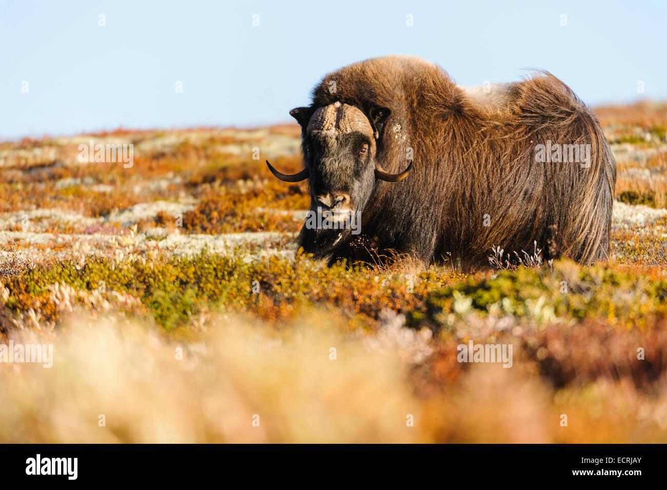 Moschusochsen stehend in den norwegischen Bergen. Stockbild