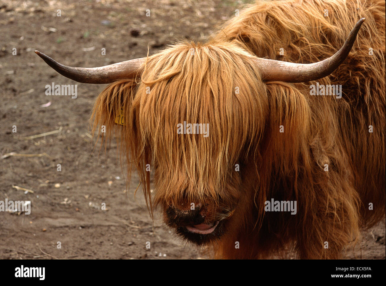 Highland Cattle (Bos Taurus), Horntiere, Schottland, Europa Stockfoto
