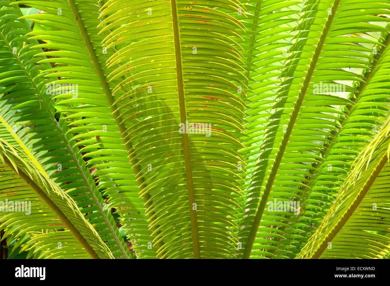 Zamia Stockfotos & Zamia Bilder - Alamy
