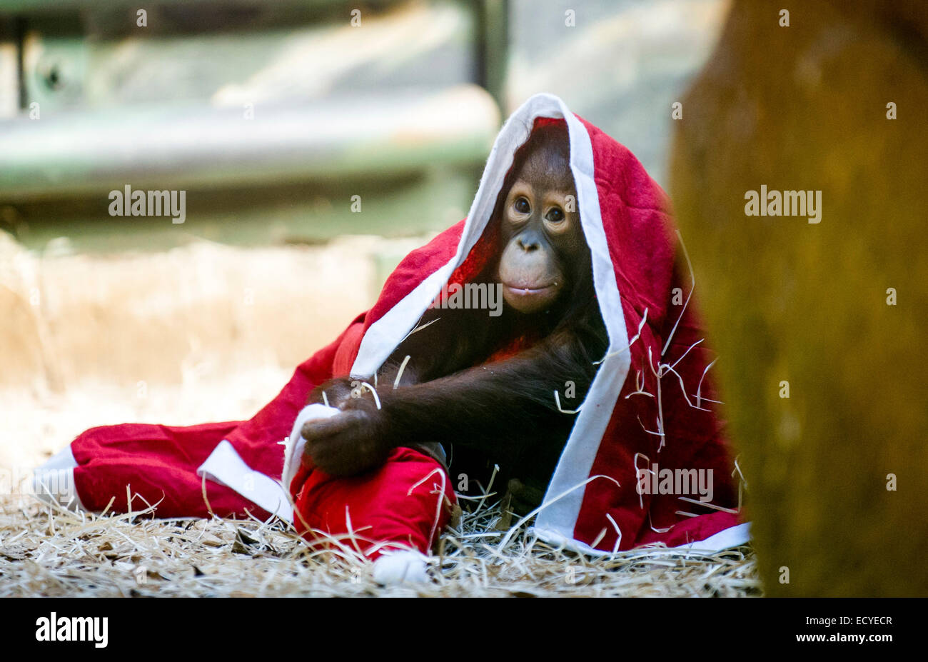 Prag, Tschechische Republik. 21. Dezember 2014. Ein Orang-Utan Baby ...
