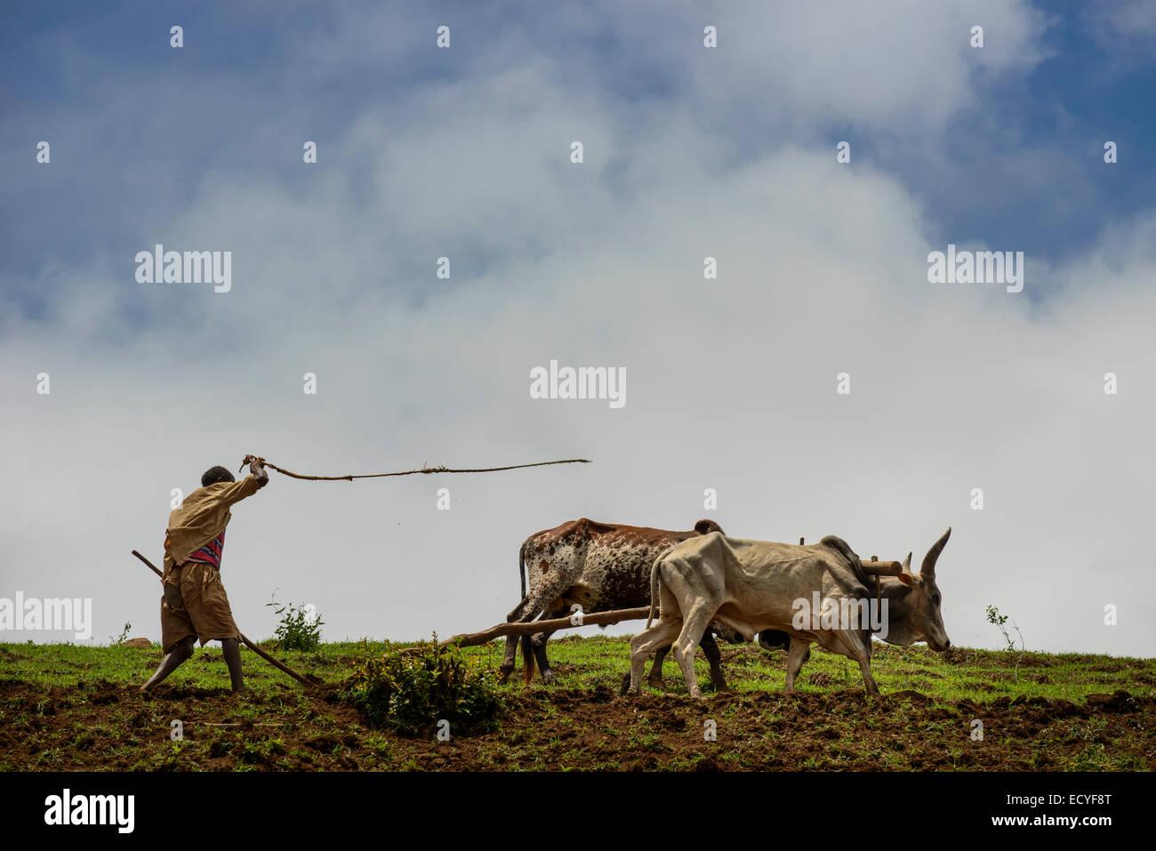 Ein Tigrayan Mann arbeitet in seinem Bereich, Simien Mountains, Äthiopien Stockbild