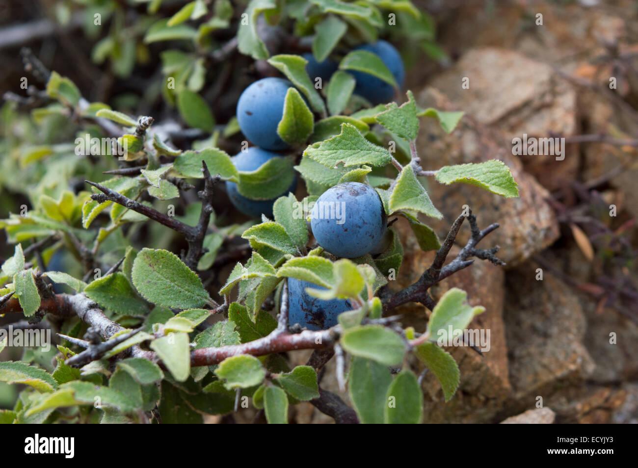 wild blueberry stockfotos wild blueberry bilder alamy. Black Bedroom Furniture Sets. Home Design Ideas