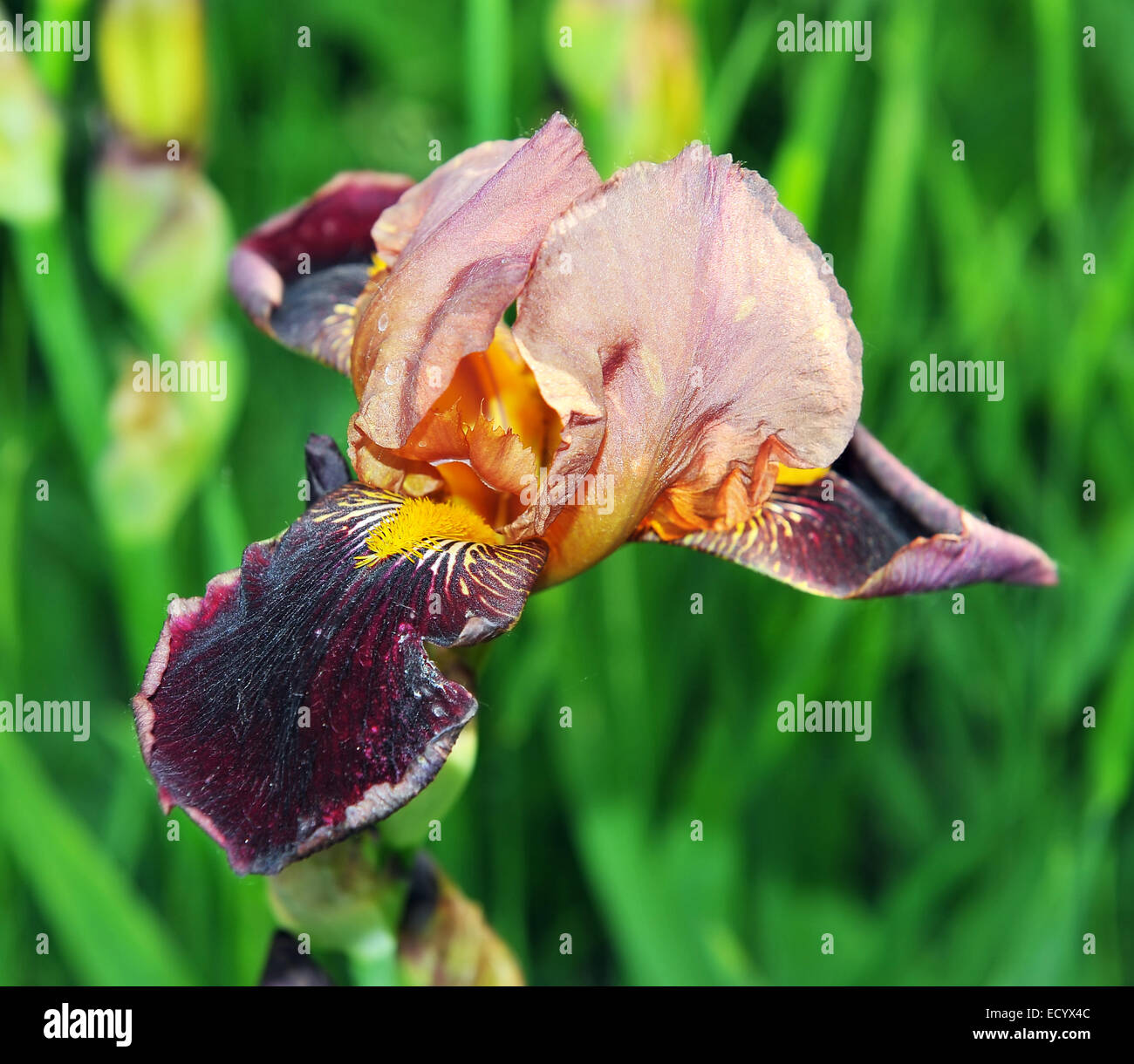 bearded yellow iris flower closeup stockfotos bearded yellow iris flower closeup bilder alamy. Black Bedroom Furniture Sets. Home Design Ideas