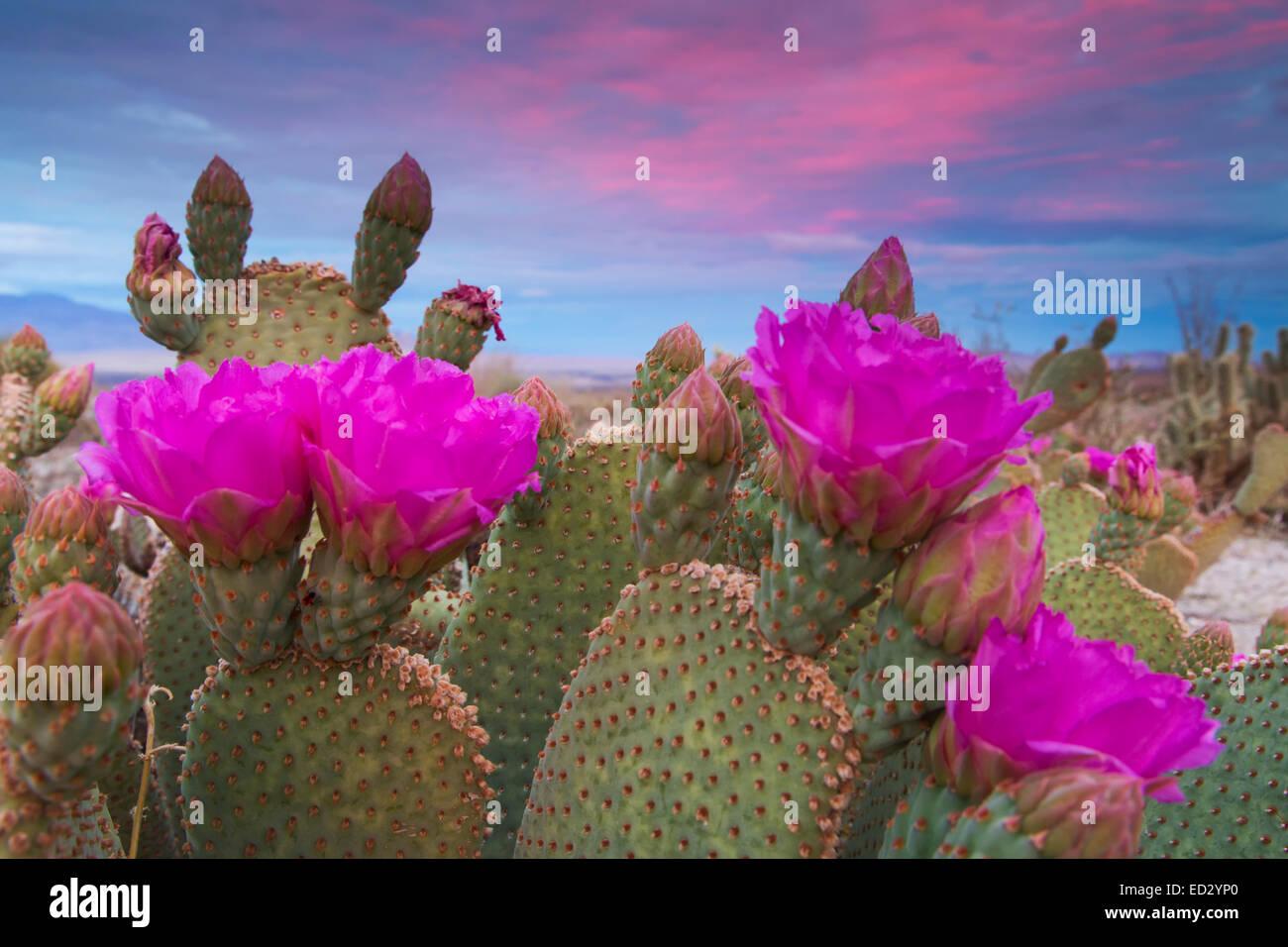 Beavertail Kaktus in Blüte, Anza-Borrego Desert State Park, Kalifornien. Stockbild