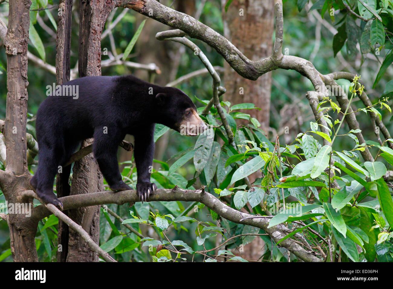 Sun Bear - Helarctos Euryspilus - im Bornean Sun Bear Conservation Centre in Sepilok, Sabah, Malaysia Stockfoto