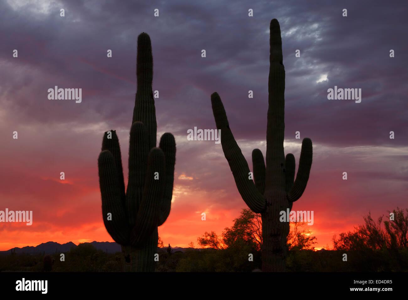 Saguaro-Kaktus bei Sonnenuntergang, Scottsdale, Arizona. Stockfoto