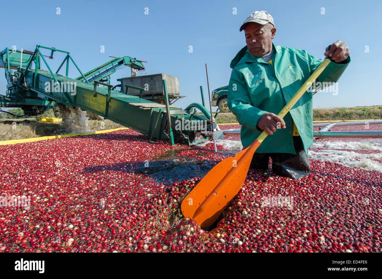Waten in den Sümpfen, Ernte Arbeiter Preiselbeeren durch drücken die Beeren auf ein Förderband und in Erwartung Stockfoto