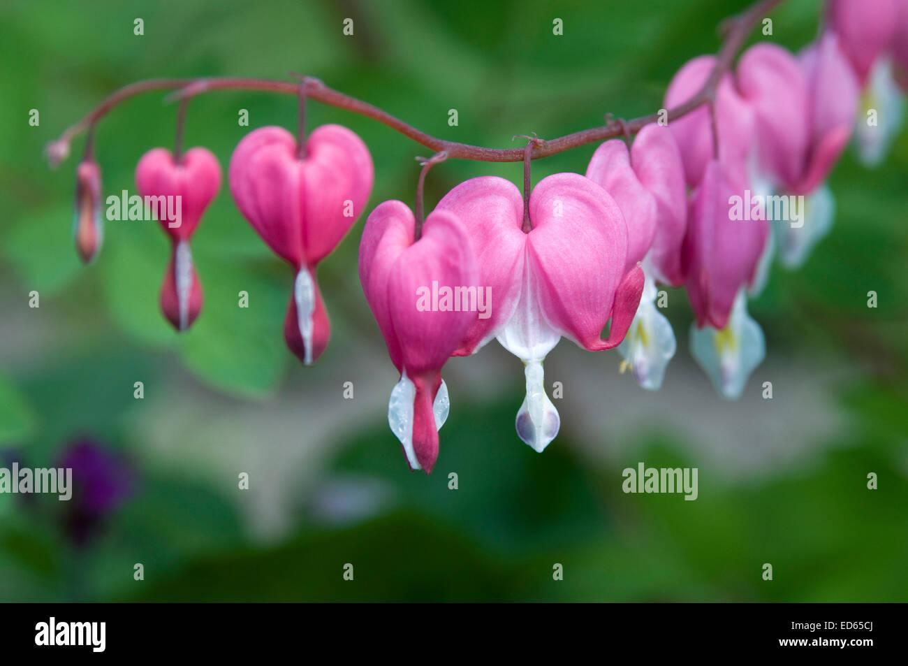 Das Sind Schöne Rosa Tränendes Herz Blumen Stockfoto, Bild