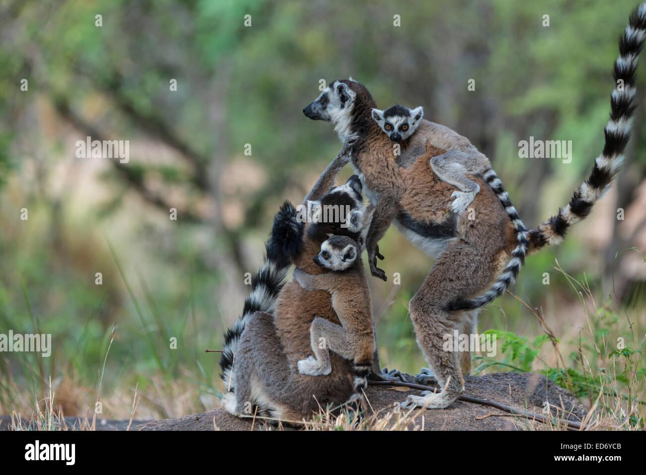 Kattas (Lemur Catta), Erwachsene mit jungen auf dem Rücken, Adringitra Region, Madagaskar Stockbild