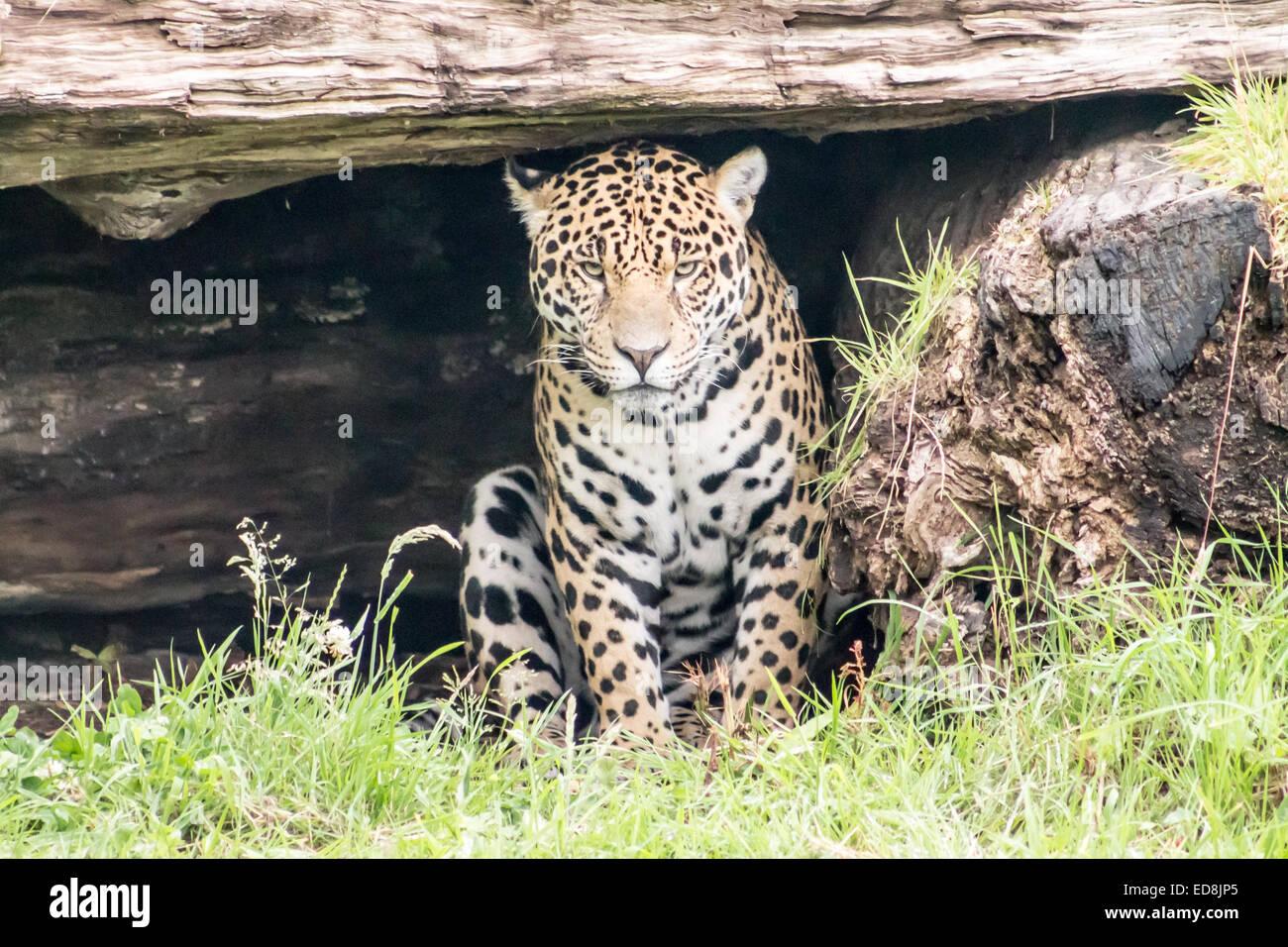 Jaguar (Panthera Onca), sitzen auf dem Rasen und in die Kamera schaut. Frontprofil. Stockbild