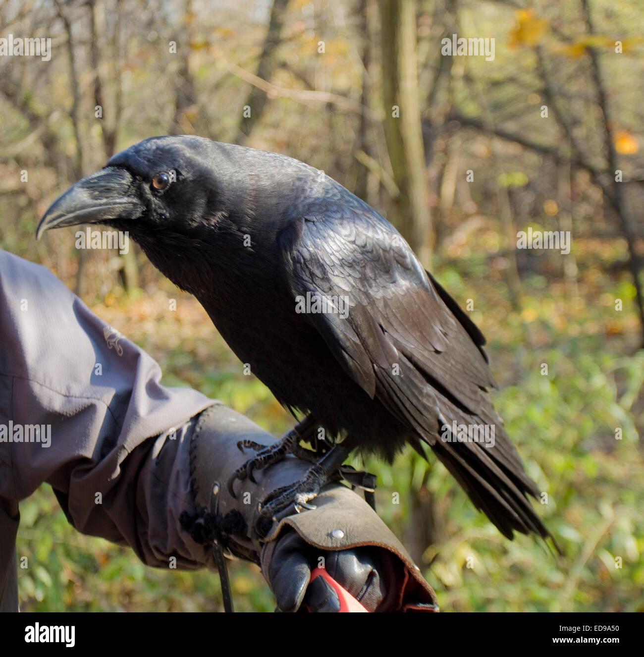 Raven (Corvus Corax) sitzt auf dem Mann die hand, lebt in Europa, Asien und Afrika. Stockbild