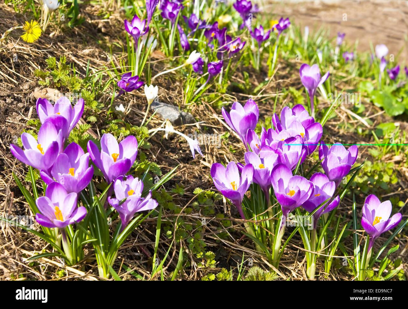 Viele Erste Fruhlingsblumen Violette Krokusse Auf Dem Rasen