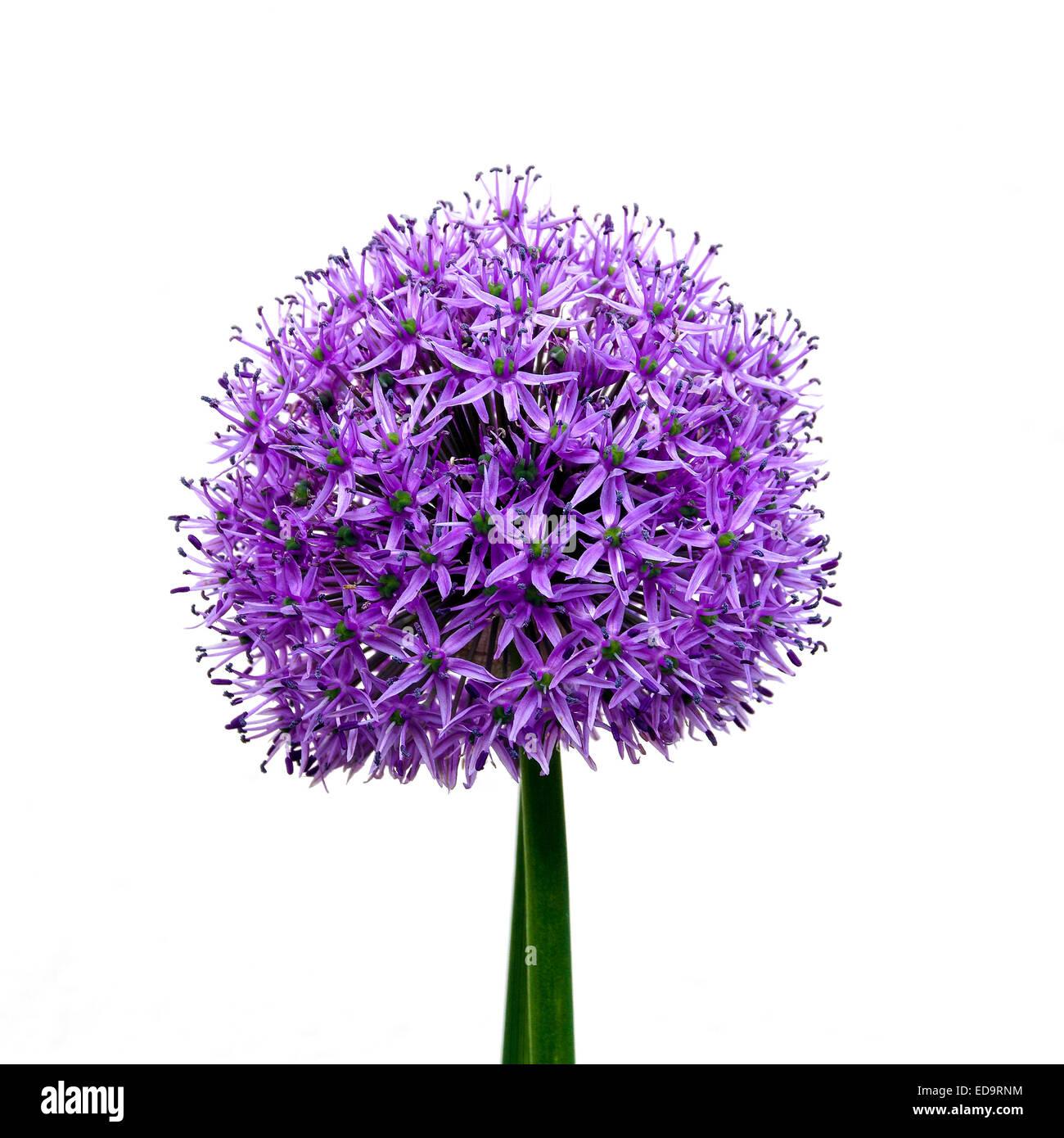 Allium Pflanze vor weißem Hintergrund Stockbild