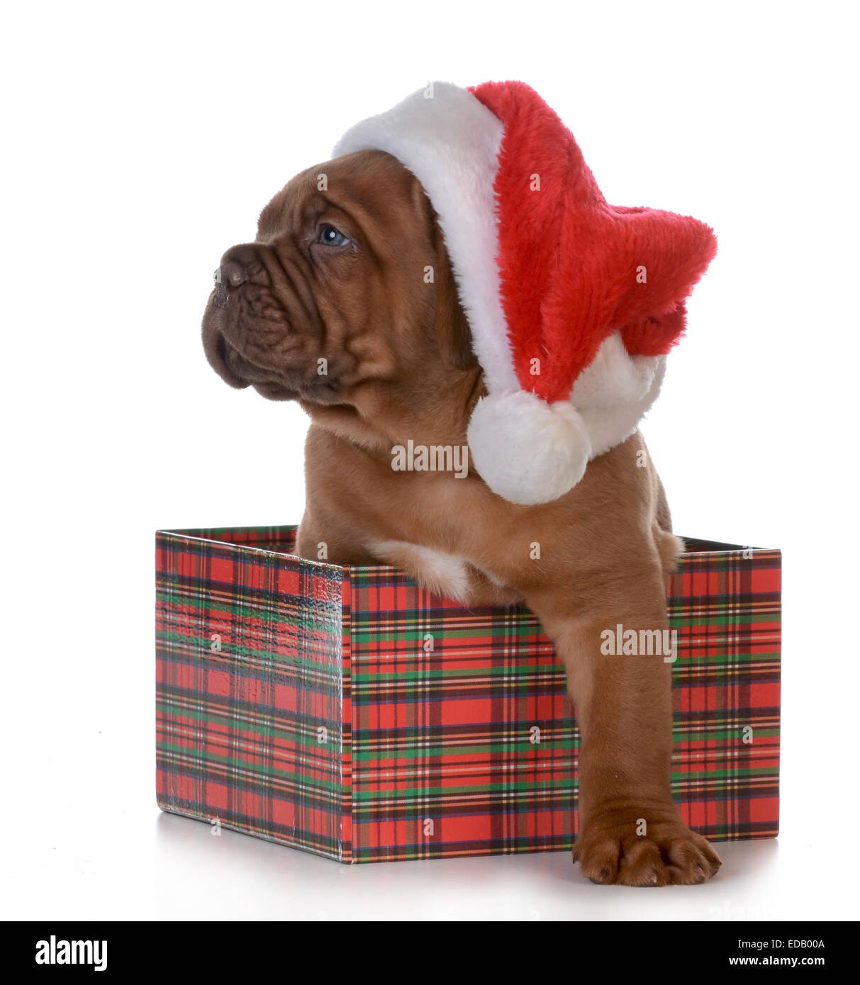 Weihnachten Welpen - Dogge de Bordeaux als Weihnachtsgeschenk auf ...