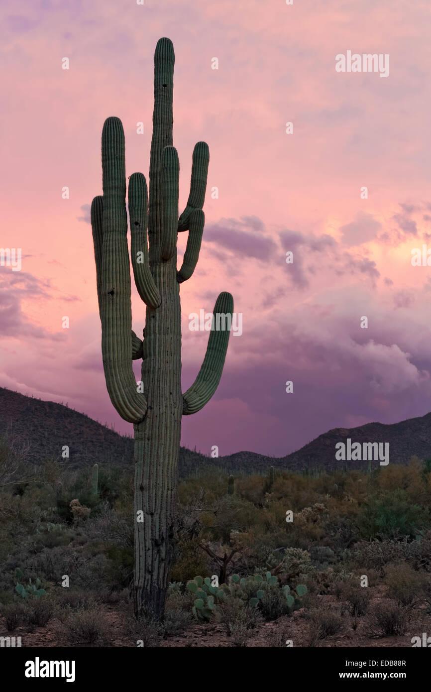 Gigantischen Saguaro Kaktus (Carnegiea Gigantea), Saguaro West National Park, Tucson, Arizona Stockfoto