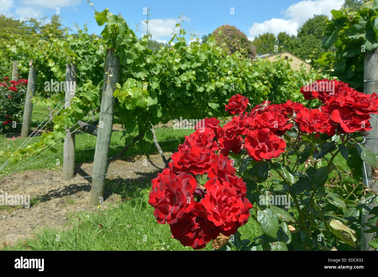 roses and vineyard stockfotos roses and vineyard bilder alamy. Black Bedroom Furniture Sets. Home Design Ideas