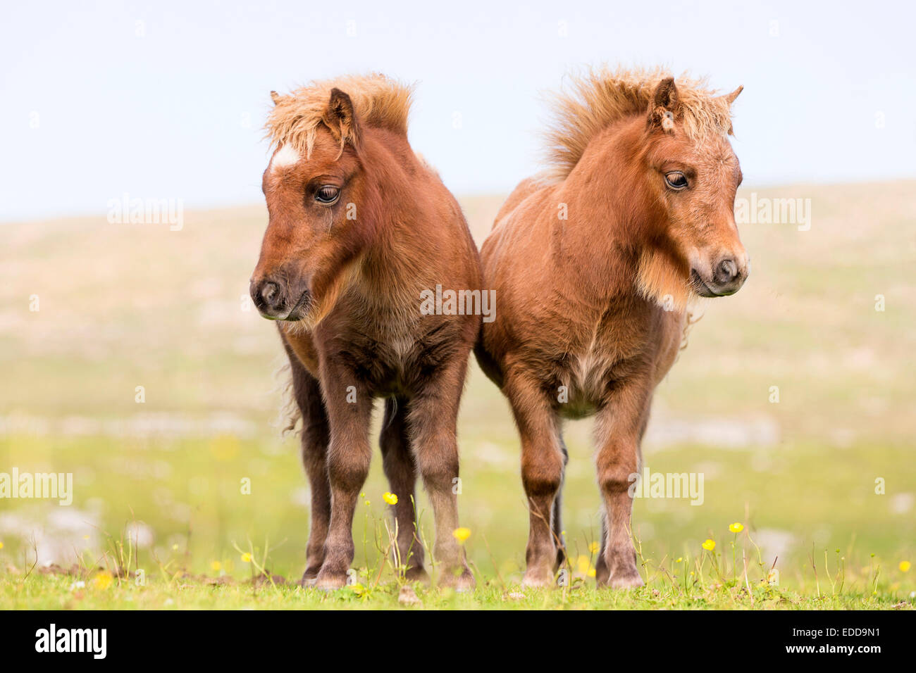 mini shetlandpony stockfotos mini shetlandpony bilder seite 3 alamy. Black Bedroom Furniture Sets. Home Design Ideas