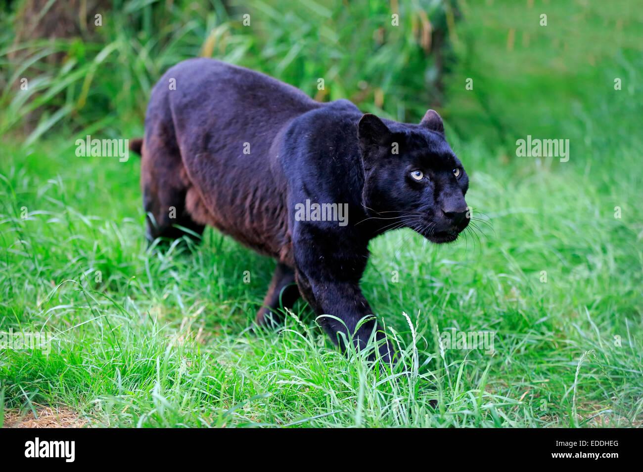 leopard black panther panthera pardus erwachsener. Black Bedroom Furniture Sets. Home Design Ideas