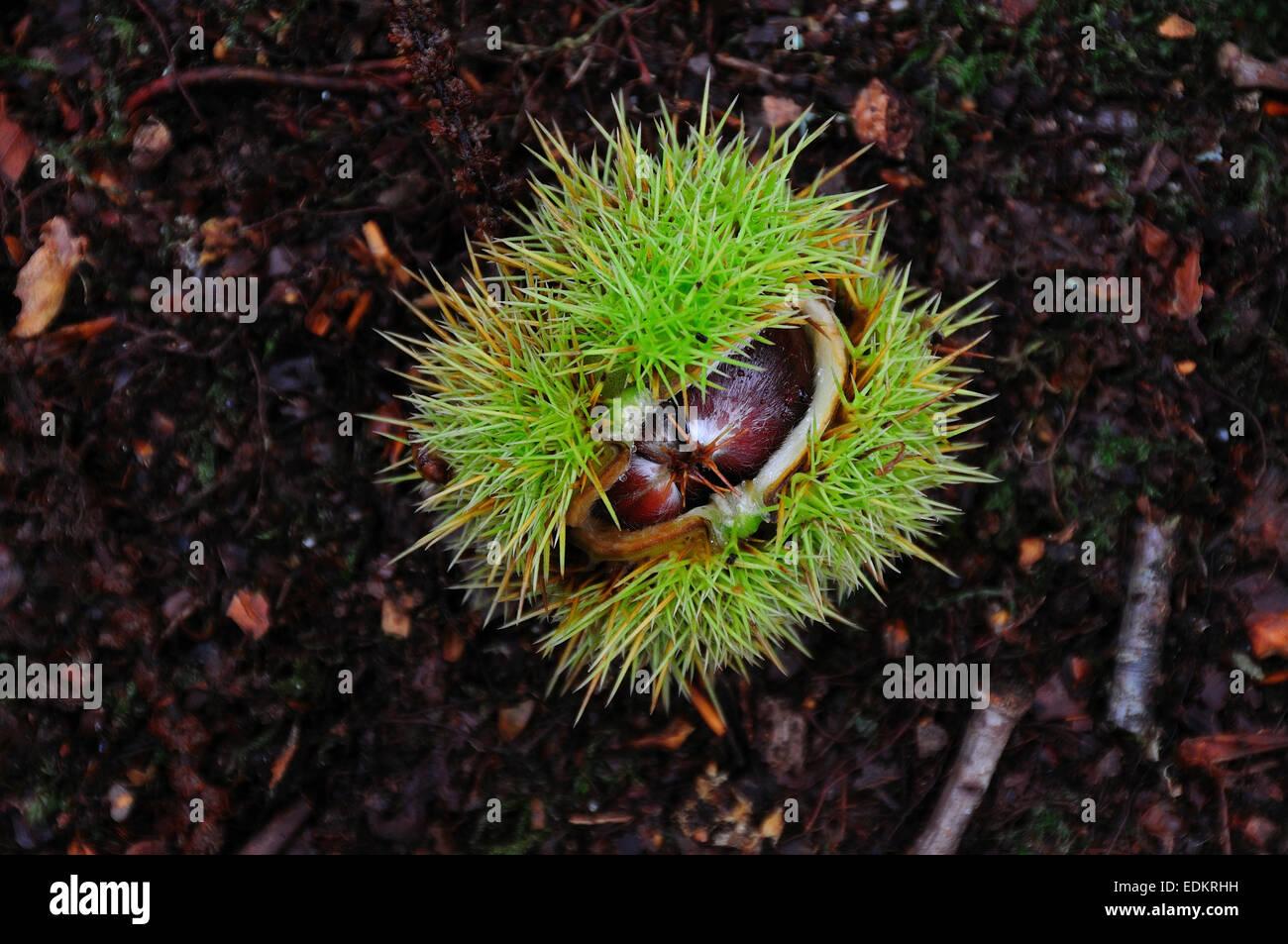 Eine Edelkastanie nur gucken aus seiner Gehäuse-UK Stockbild