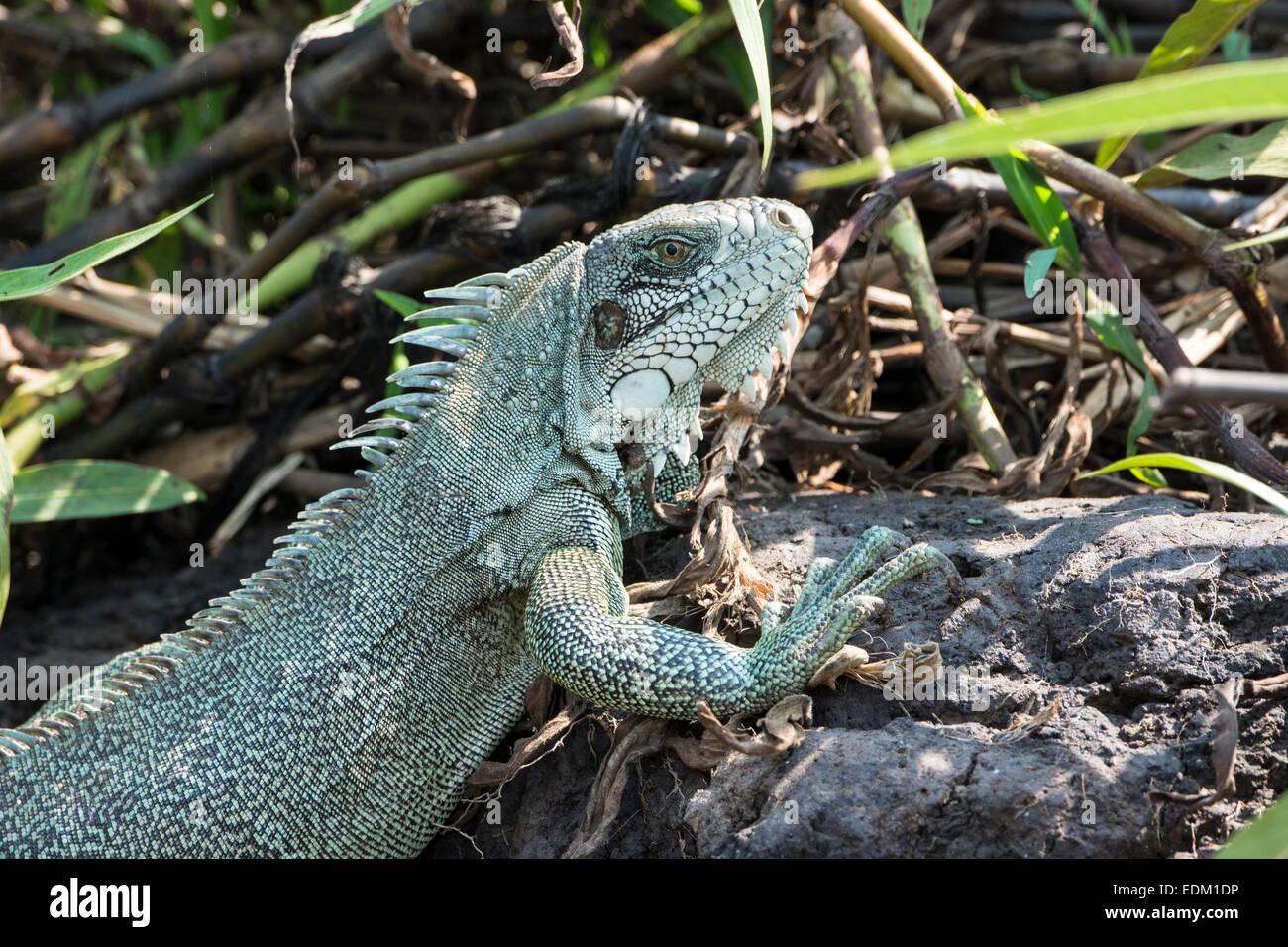 Close Up einer grüner Leguan oder Common Iguana Iguana Iguana, Pantanal, Mato Grosso, Brasilien, Südamerika Stockfoto