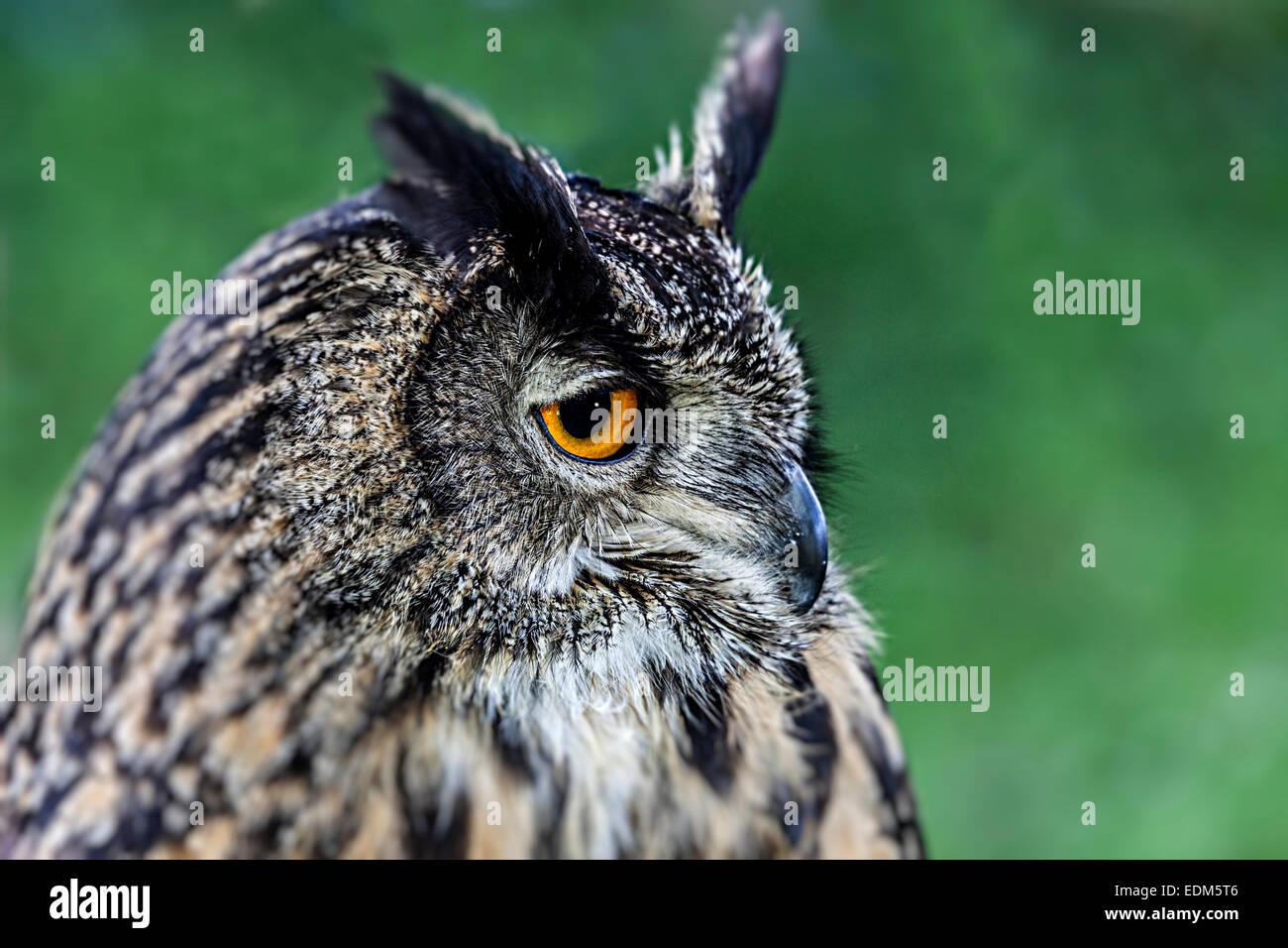 Eurasische Adler-Eule Bubo bubo Stockbild