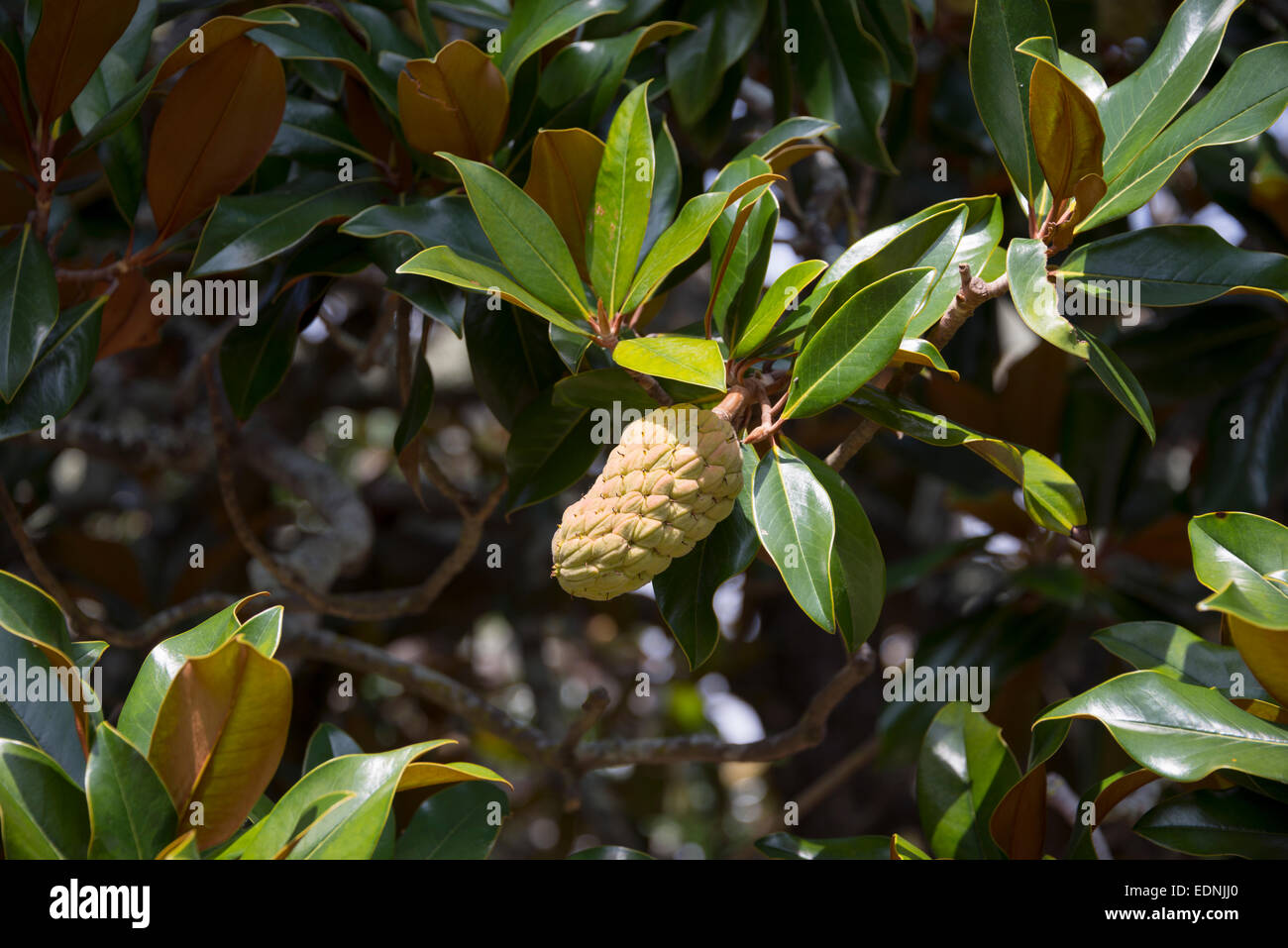 bl te von einem gummibaum ficus elastica azoren portugal stockfoto bild 77307608 alamy. Black Bedroom Furniture Sets. Home Design Ideas