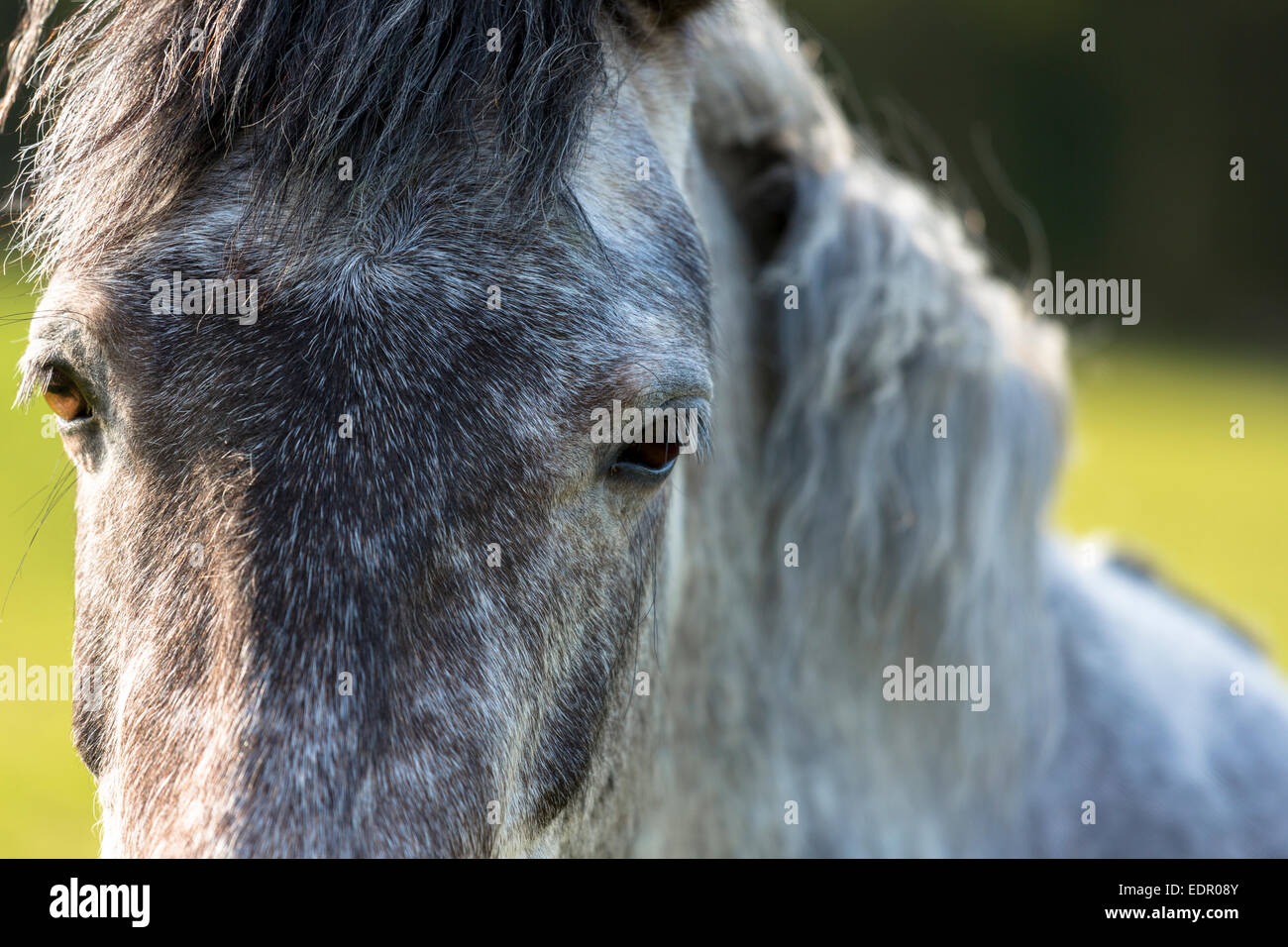 Nahaufnahme von einem Roan (Strawberry Roan) Farbe Pferd in England Stockbild