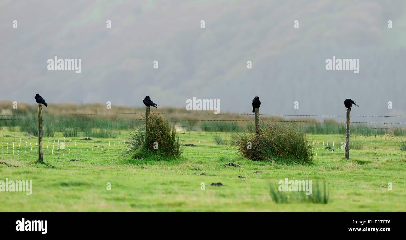 Krähen sitzen auf einem Zaun in einem Feld auf Exmoor vor einem dunklen Himmel Stockbild