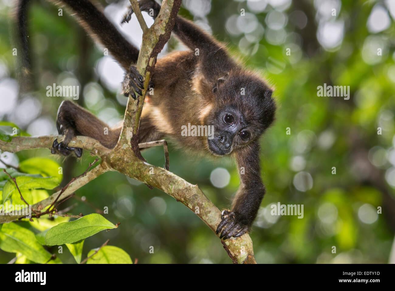 Baby-Jaguaren Brüllaffen (Alouatta Palliata) klettern Ast im Regenwald canopy, Cahuita Nationalpark, Limon, Stockbild