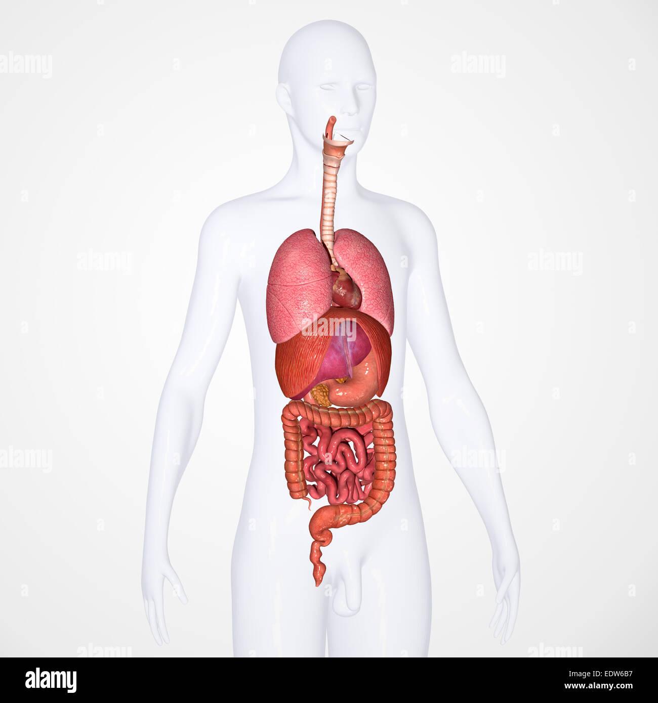 Human Tongue Anatomical Stockfotos & Human Tongue Anatomical Bilder ...