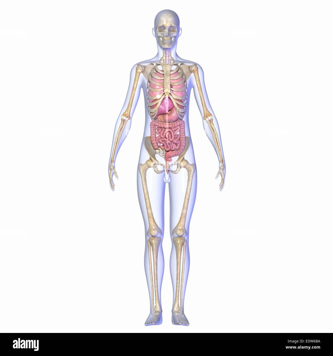 Beste Der Menschliche Körper Das Verdauungssystem Zeitgenössisch ...