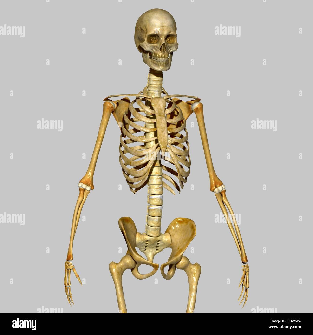 Beste Interaktives Skelett System Zeitgenössisch - Anatomie Ideen ...