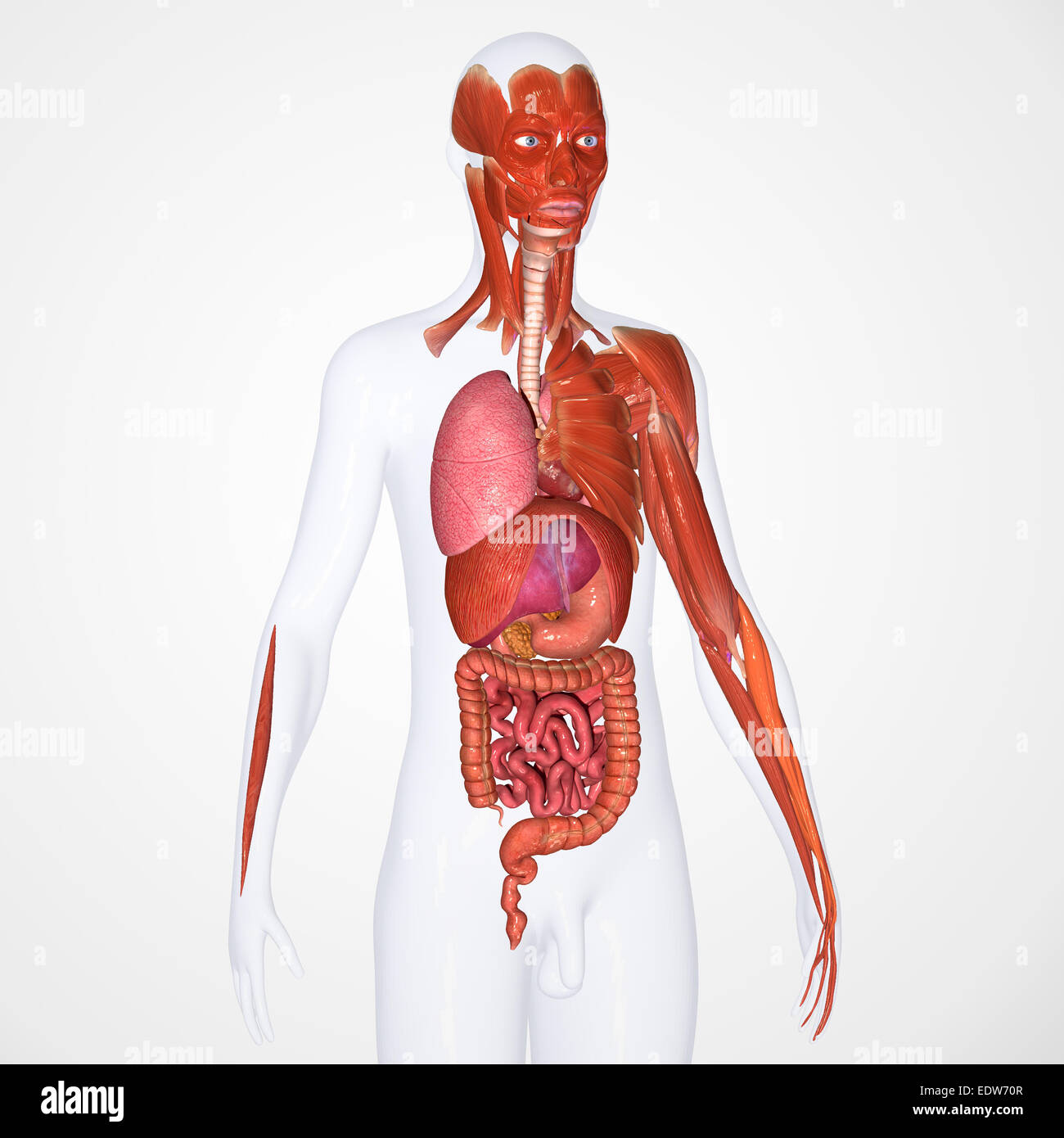 Beste Bildkörperorgane Bilder - Menschliche Anatomie Bilder ...