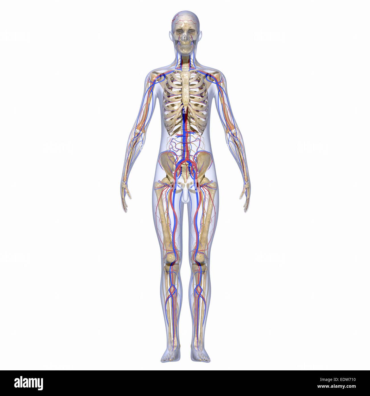 Skelett und Nervensystem Stockfoto, Bild: 77386316 - Alamy