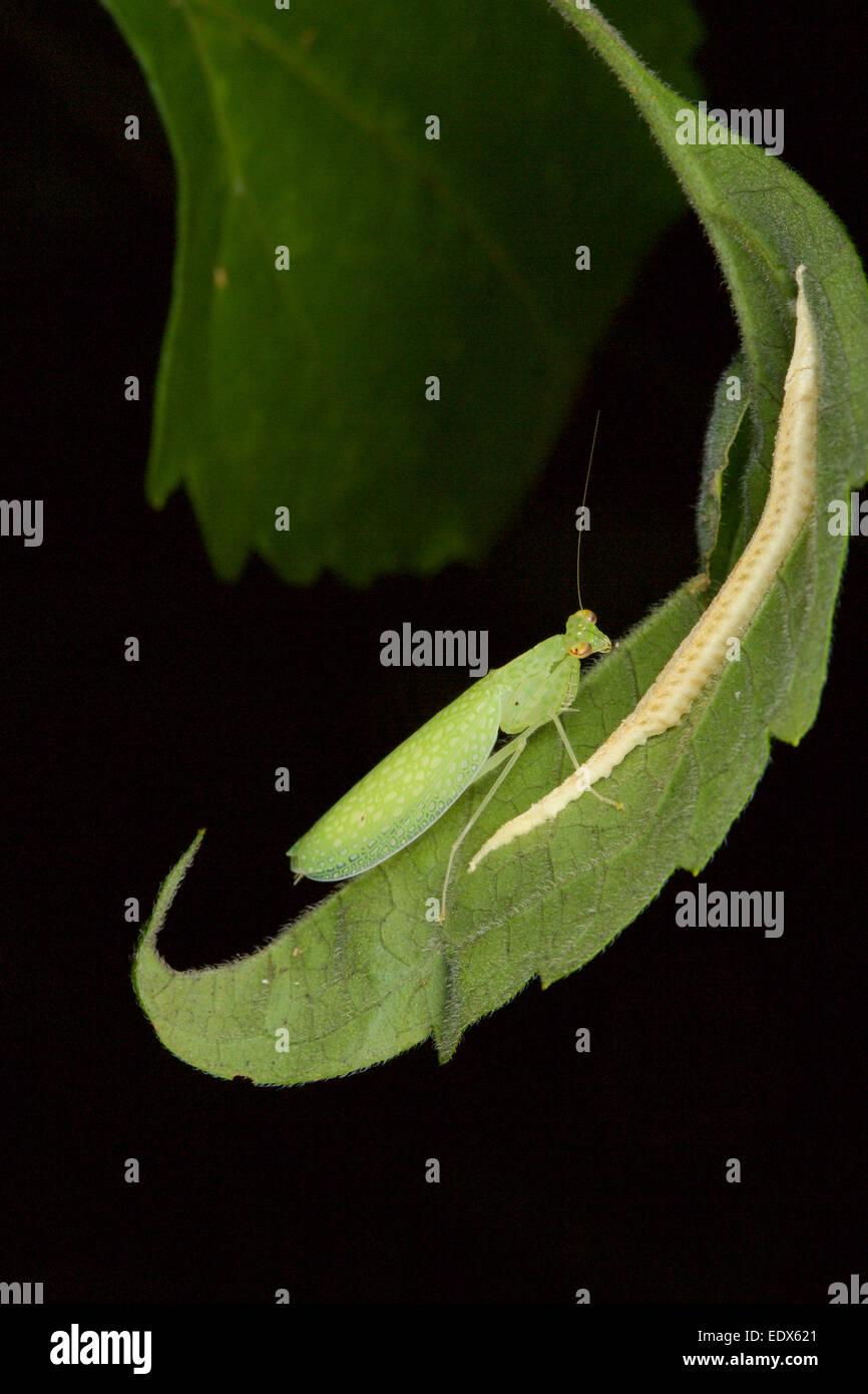 Tropidomantis Tenera ist eine Art von Gottesanbeterin gefunden in Südost-Asien. Weibchen mit Ei Sac (Ootheca) Stockbild