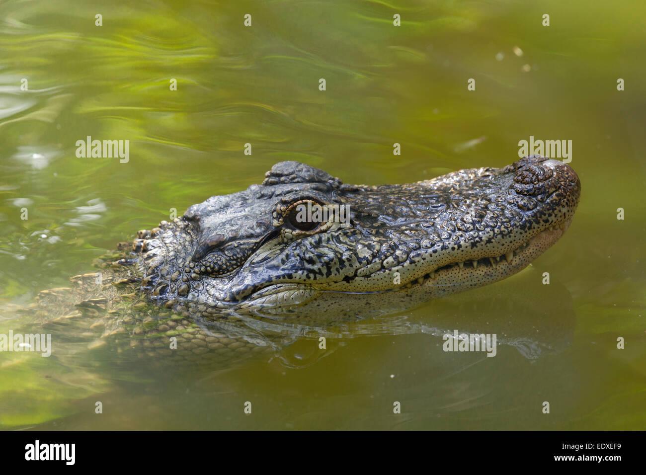 Krokodil im australischen Zoo, Beerwah, Australien Stockbild