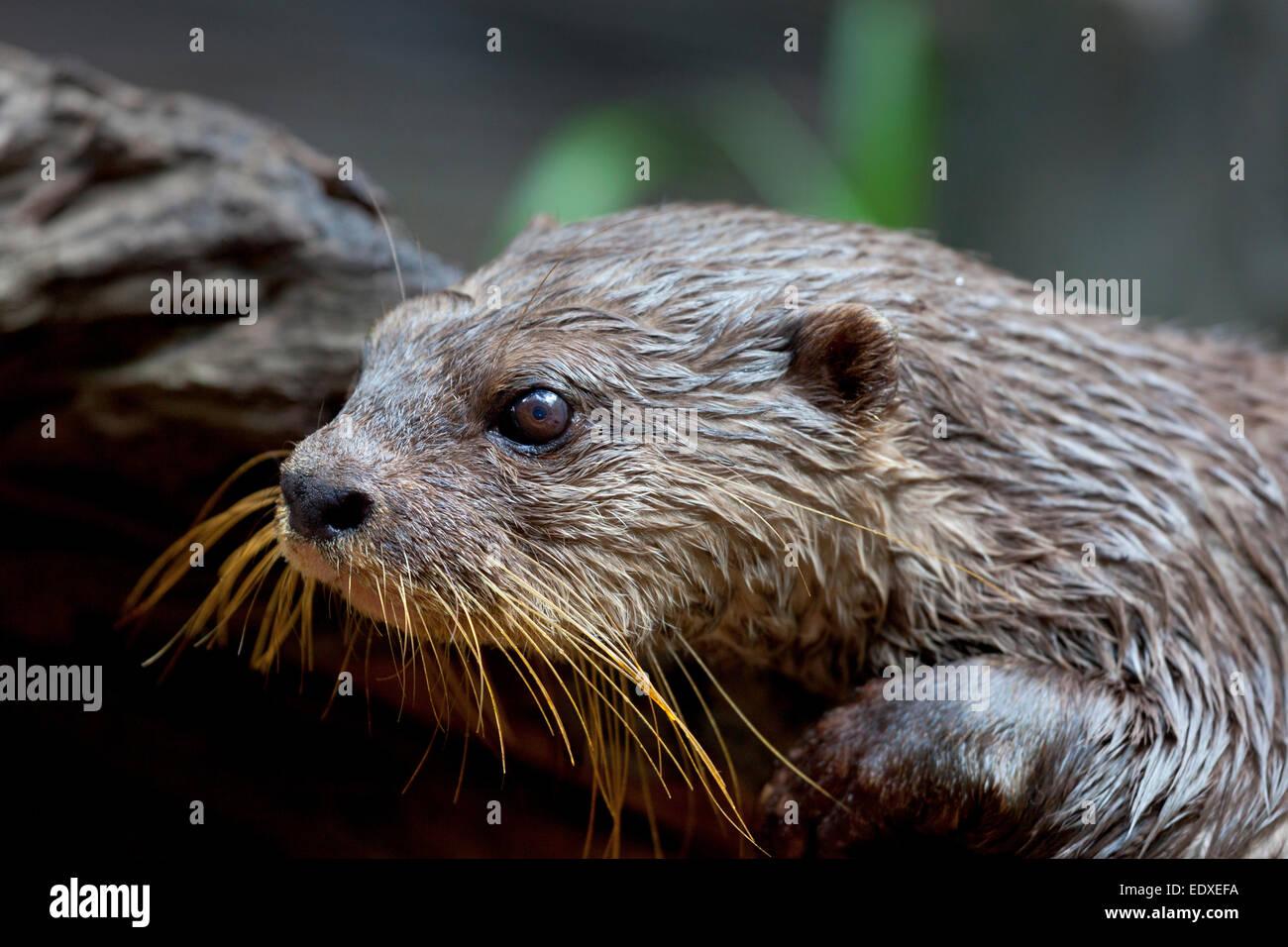 Asiatische kleine krallenbewehrten Otter im Australian Zoo, Beerwah, Australien Stockbild