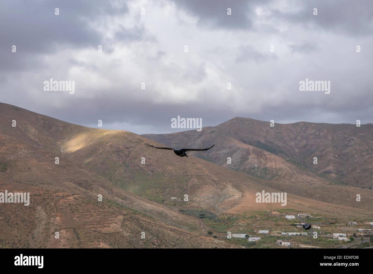 Raben fliegen über Berge unter einem grauen Himmel auf Fuerteventura Kanaren Spanien Las palmas Stockbild
