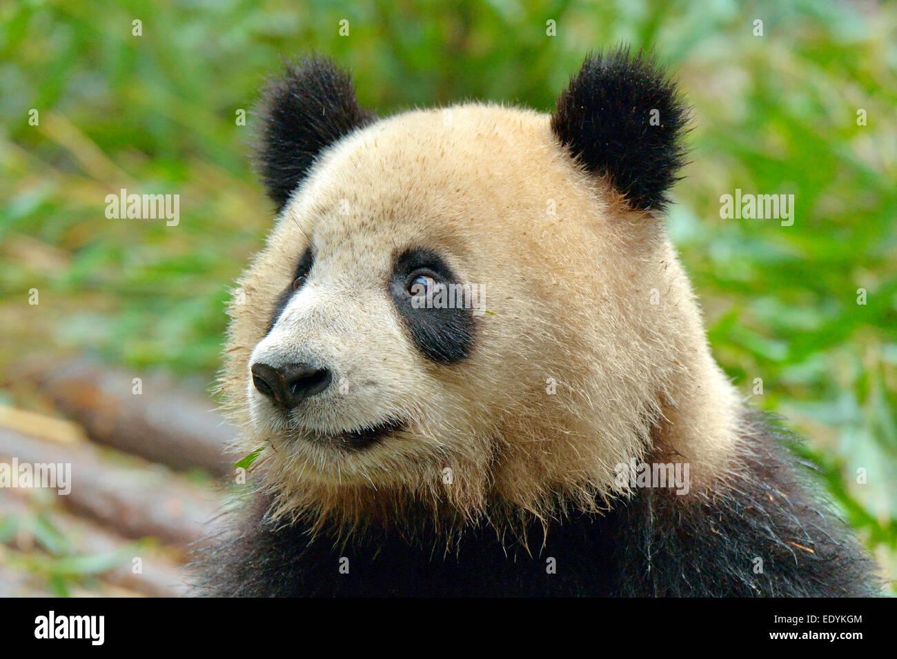 Großer Panda (Ailuropoda Melanoleuca), Gefangenschaft, Chengdu Research Base of Giant Panda Breeding oder Chengdu Stockbild
