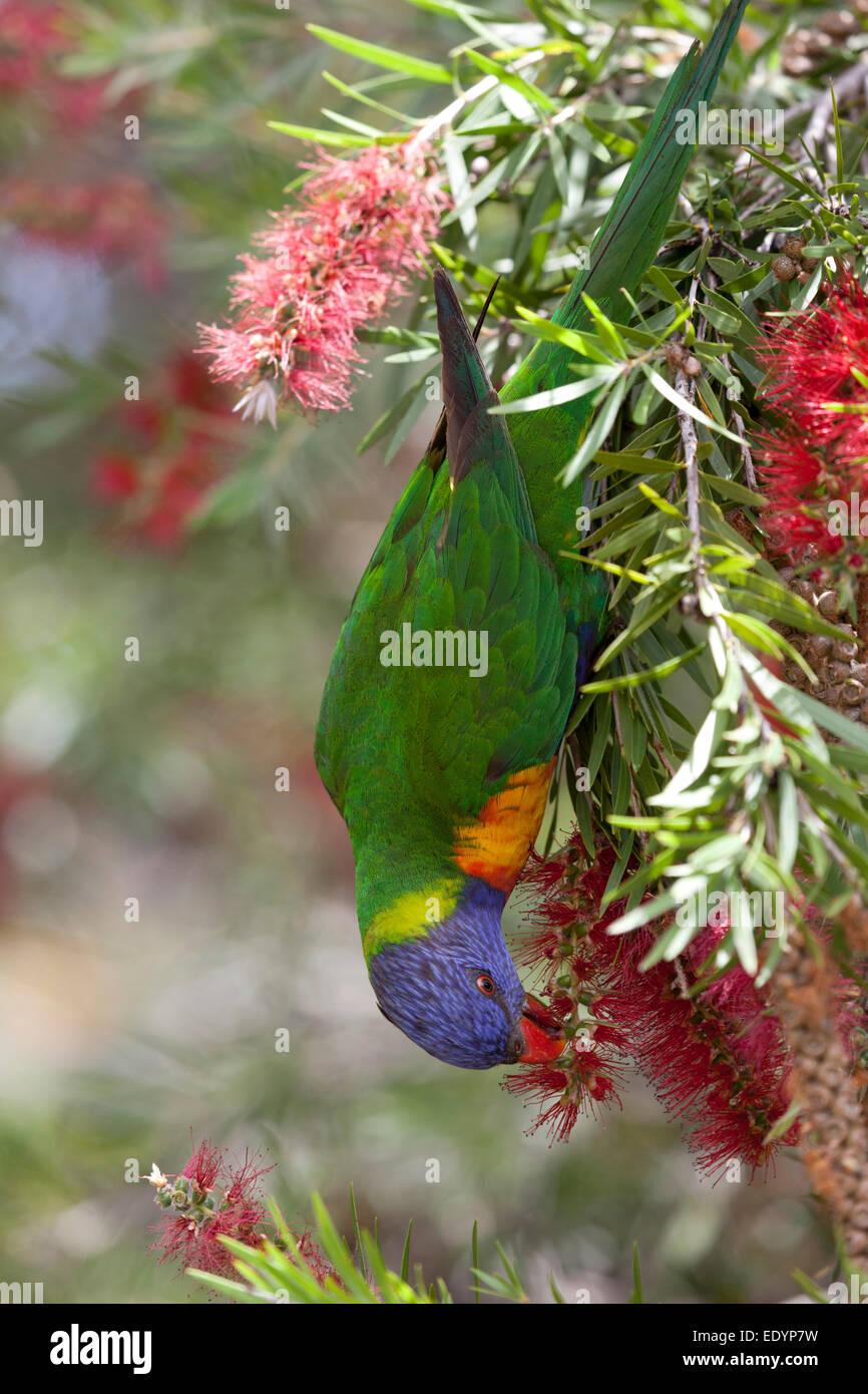 Essen Lorikeet Vogel in eine Flasche Bürste Strauch, Australien Stockbild