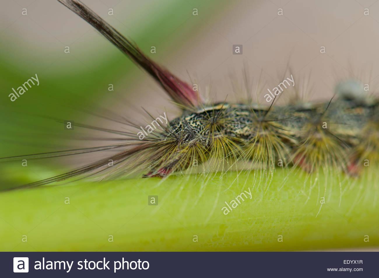 Caterpillar Moth Makaronesien Fortunata. Stockbild