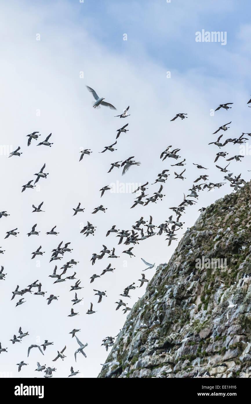 Steile Klippen nistende Vogelarten auf der Südseite von Bjornoya, Bäreninsel, Svalbard, Arktis, Norwegen, Stockbild